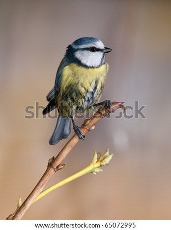 Bluetit on a branch. Background in autumn colours.