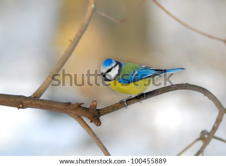 Bluetit perched on a thin twig in a wintery scene.