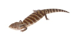 bluetongue lizard isolated with white background only