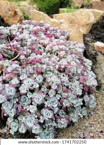 bluish and red leaves of Sedum spathulifolium Cape Blanco with miniature rosettes in the form of roses on an Alpine rocky hill. Flower desktop Wallpaper Stockfoto ©