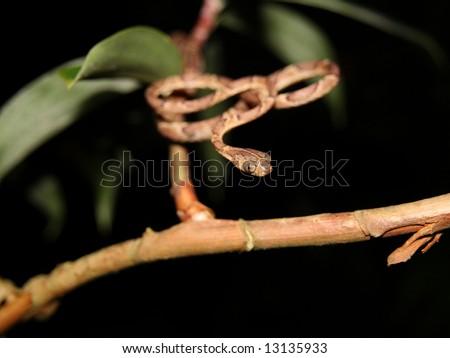Blunt-Headed Tree Snake