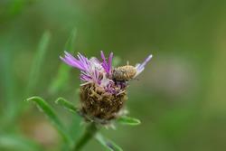 Blunt Knapweed Flower Weevil on Knapweed Flowers