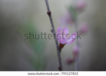 Blur. Almond tree flower (Amygdalus petunnikowii).