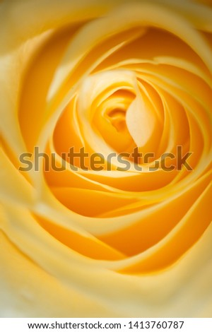 blur macro shot of beautiful apricot color rose flower. floral background #1413760787