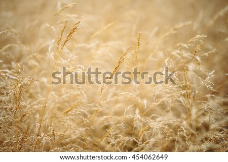 Blur nature oats field grow background. Soft blur background dry grass nature. Closeup wheat background. Ears of oats nature. Golden sunny oat closeup. Natural wheat beauty - shallow focus photography