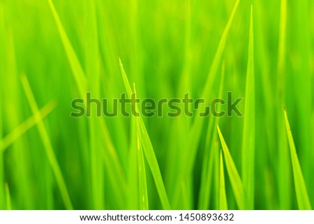 Blur picture of green rice leaf in paddy farm ,Rice. Fresh green Rice with dew drops closeup. Closeup nature view of green leaf,Natural green using as a background or wallpaper.