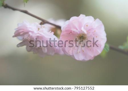 Blur. Pink almond tree flowers.