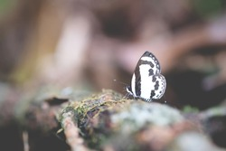 blur small black and white butterfly touching on brown branch on branch in blur background for using texture wallpaper and background