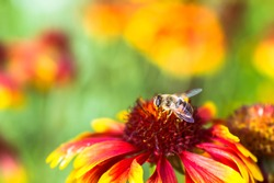 Blur soft lens. A fruit fly eats the pollen of a red-yellow flower against the background of a blurred beautiful meadow. The natural background.