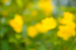 Blurred abstract background of Allamanda cathartica yellow flowers warm tone with rays and sun flairs , copy space, spring and summer concept.