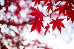 Blurred Abstract Maple Leaf, Background Concept