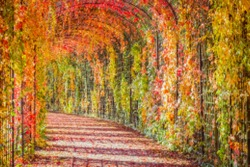 BLURRED abstract MOSAIC background. Autumn red leaves backdrop. Huge Tunnel wall of Red leaves on Virginia creeper vine Parthenoci.