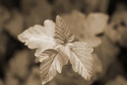 Blurred abstract sepia photo of last leaves on a branch in autumn