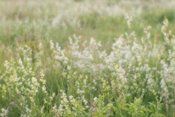 Blurred. Artistic blur. Wild blooming small white flowers summer meadow in the natural haze of soft lens. Natural background. The concept of harmony and tranquility.