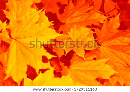blurred. autumn landscape with bright colorful leaves. Indian summer. foliage. stock photo