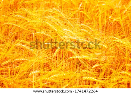 Blurred background. field. spikelets of wheat on a background summer landscape