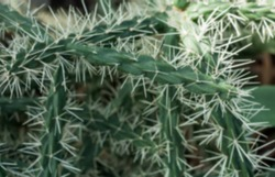 Blurred background. Intertwining branches of a thorny plant with sharp long thorns. Green cactus, white thorns.