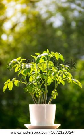 blurred background vertical light in a white pot flower plant tomato bokeh rays sunlight backlight