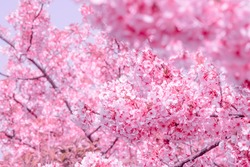 blurred,Cherry Blossom or Sakura flower on nature blur background in the morning a spring day