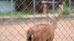 Blurred Chital or Deer with antler in the cage or enclosure at zoo or animal rehabilitation wallpaper