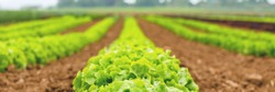 Blurred Gardening  banner background with green lettuce plants. Agricultural field with Green lettuce leaves on garden beds in the vegetable field.  Lactuca sativa green leaves, closeup.