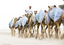 blurred image of a man riding fast moving  camels at a camel track in a desert