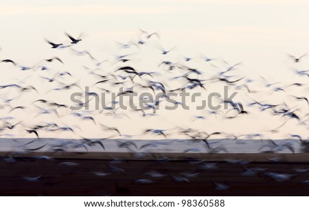 Blurred Image Snow Geese movement Saskatchewan Canada