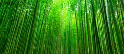 Blurred images of bamboo forest in Arashiyama,Kyoto,Japan.
