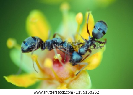 Blurred. microscopic flower the size of an ant attracts insects with an abundance of nectar. Foraging ant. Window into world of ultra macro, mountain tundra higher Arctic circle, Scandinavia