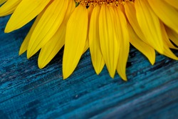 Blurred natural background. Fragment of a flower of a sunflower on a blue wooden background. Yellow petals on a blue wooden background. Close-up, horizontal, top view, free space below, cropped shot.