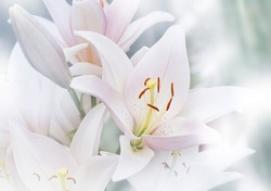 Blurred natural background of Madonna Lilly flower, Stargazer lilly, white Lilly flower