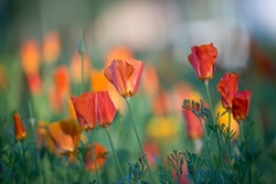 Blurred nature background meadow of blooming California poppies at sunset.