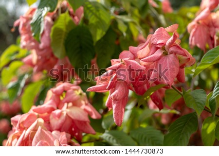 Blurred nature background with Mussaenda erythrophylla, Ashanti blood, tropical dogwood, is an evergreen West African shrub. The bracts of the shrub may have different shades, including red and pink #1444730873