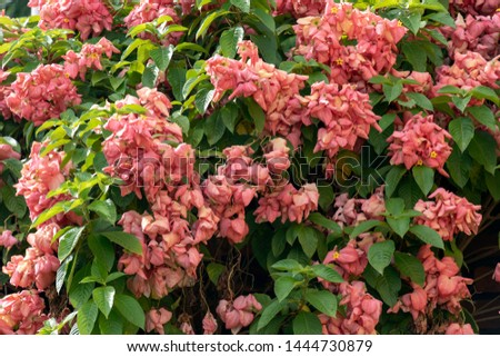 Blurred nature background with Mussaenda erythrophylla, Ashanti blood, tropical dogwood, is an evergreen West African shrub. The bracts of the shrub may have different shades, including red and pink #1444730879