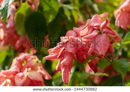Blurred nature background with Mussaenda erythrophylla, Ashanti blood, tropical dogwood, is an evergreen West African shrub. The bracts of the shrub may have different shades, including red and pink #1444730882