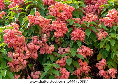 Blurred nature background with Mussaenda erythrophylla, Ashanti blood, tropical dogwood, is an evergreen West African shrub. The bracts of the shrub may have different shades, including red and pink #1444730897