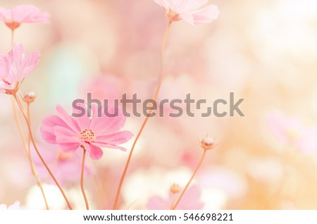 blurred of cosmos flowers with bokeh in vintage style and soft blur for background. #546698221