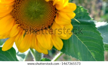 Blurred panoramic photo of Helianthus annuus (common sunflower) - large annual forb of the genus Helianthus grown as a crop for its edible oil and edible fruits. Beautiful yellow sunflower. Closeup.
