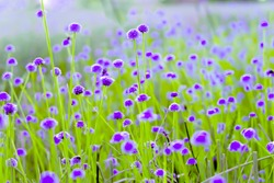 blurred,Purple flower blossom on field. Beautiful growing and flowers on meadow blooming in the morning,selective focus