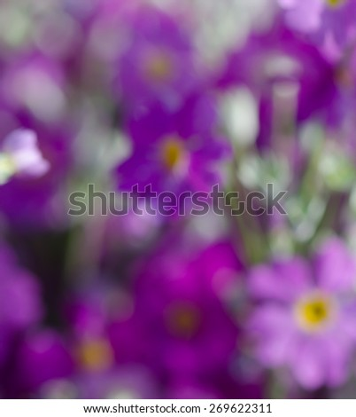 Blurred purple primrose flowers background, nature background, soft background.