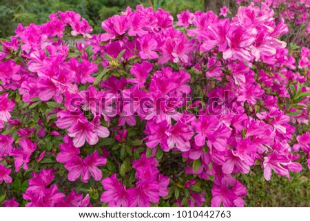 Blurred Rhododendron pink flower fresh blooming on morning light. Pink Rhododendron flower.Rhododendron flower pattern.