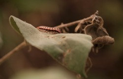 Blurred shocking pink millipede, pink dragon millipede, flat backed millipede in the nature.
