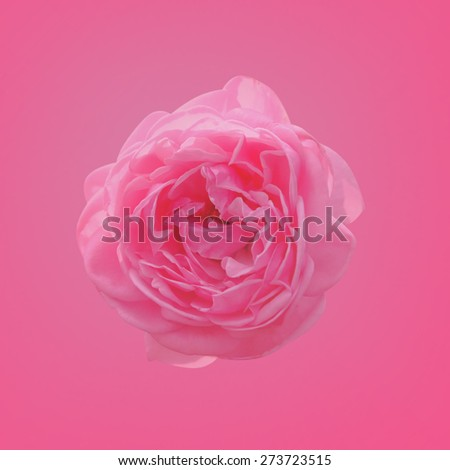 Blurred soft style pink rose flower with pink vignette