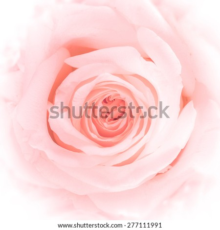Blurred soft style romantic pink rose for background : Soft style sweet rose in pink red color tone