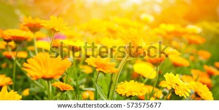 Blurred summer background with Marigold flowers field in sunlight. Beautiful nature scene with blooming calendula in Summertime. Colorful Wide Horizontal floral Wallpaper