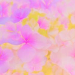 Blurred vivid Pink yellow Hydrangea flowers, closeup. Soft Pink yellow Hydrangea macrophylla blossom texture. Hydrangea pale yellow magenta flowers