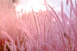 Blurred,Wild grass flower blossom, Beautiful growing and flowers on meadow on Soft focus pastel pink background