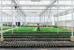 Blurred worker watering plant in green house on morning light. Worker care plant for gardener. flowers cultivation in a green house. Production flowers. Plants crop in greenhouse.