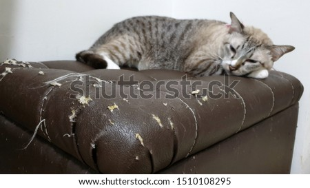 blurred young tabby cat lying on cat scratched damaged brown leather sofa.