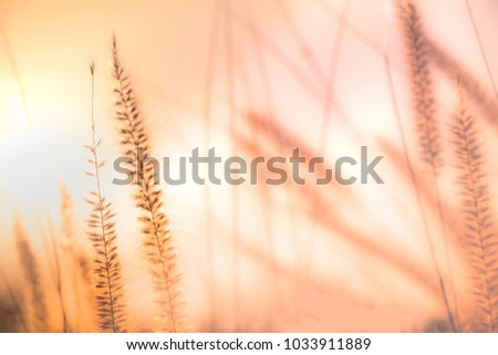 Blurry background of Feather Pennisetum, Mission grass in orange vintage tone. Concept of loneliness, feel free and release